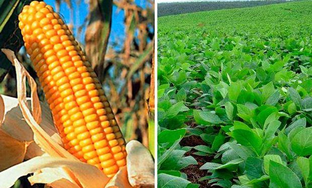 Se espera una corrección al alza de la estimación de medio millón de toneladas tanto en la cosecha de maíz como en la de soja en Argentina