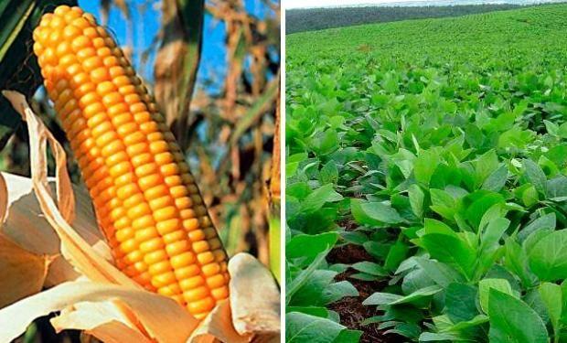 Informa redujo su estimación de producción y rendimiento de maíz.