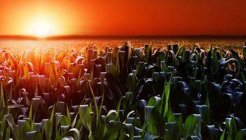 En Chicago, el maíz fue el mayor beneficiado luego del USDA