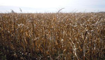 Creció el interés de la demanda por el maíz