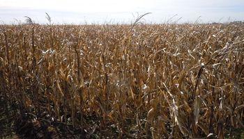 Rendimiento y estabilidad: cómo reaccionan los híbridos de maíz según el ambiente