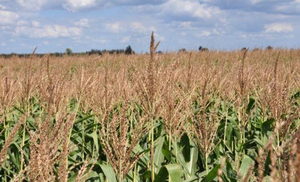 """""""Todavía estamos lejos del techo de rendimiento del maiz tardío"""": qué falta para encontrarlo"""