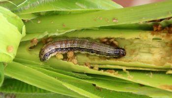 En Venezuela hay 5.000 hectáreas de maíz en riesgo por la falta de combustible para realizar controles contra plagas