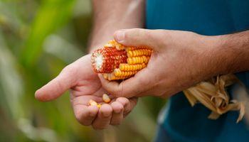 Yara llega al congreso Maizar con su propuesta para aumentar el rendimiento del cultivo