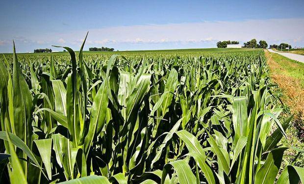 A pesar de las dudas, se apuntan 1 millón de ha de maíz en la largada de la siembra para la zona núcleo.