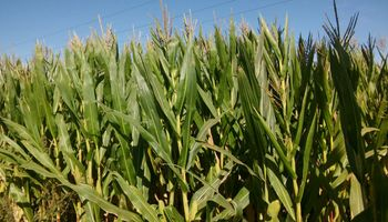 """Revivió el entusiasmo del maíz en la zona núcleo: """"Se percibe una reactivación de la demanda de fertilizantes"""""""