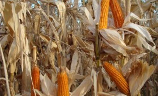 La exportación de maíz colorado argentino cayó un 12%