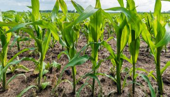 El maíz de la próxima campaña copó la operatoria en Rosario