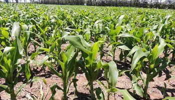 Oferta, demanda y tecnología: los tres ejes claves que permitieron triplicar la producción de maíz