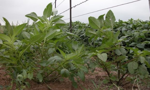 Sistemas de cultivo intensificados como herramienta para el manejo de malezas.