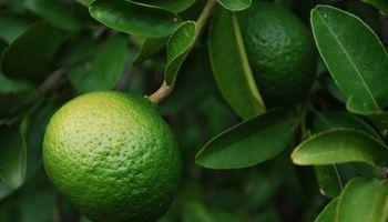 """Cítricos: """"El productor no alcanza a sacar ni $1 por kilo de fruta"""""""