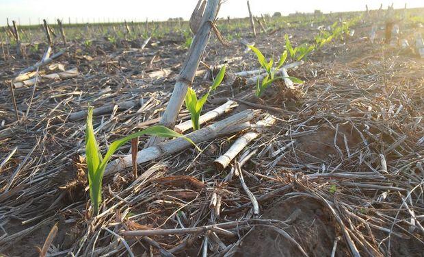 Consejos de nutrición y sanidad para el maíz: sin aumentar el área se podrían cosechar 15 millones de toneladas adicionales