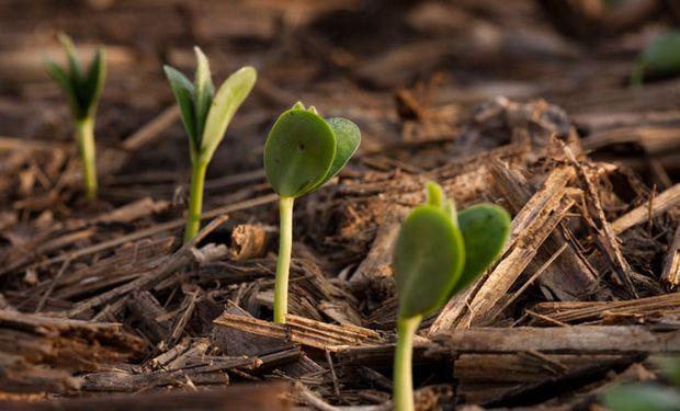 Temperatura, radiación y precipitaciones inciden directamente en la producción de soja.