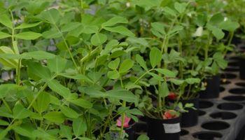 Maní: cómo saber si un cultivar resiste a la sequía