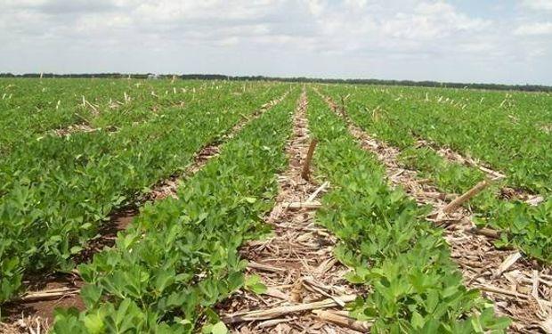 El principal problema es la falta de secuencia de cultivos. El maní debería sembrarse cada 5 años para lograr sus máximos rendimientos.