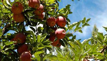200 millones de kilos de manzanas se pudren en los árboles