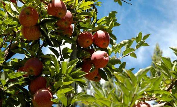 Las manzanas no cosechadas constituyen la antesala de una tormenta perfecta para los chacareros. Las plagas no tardarán en llegar.