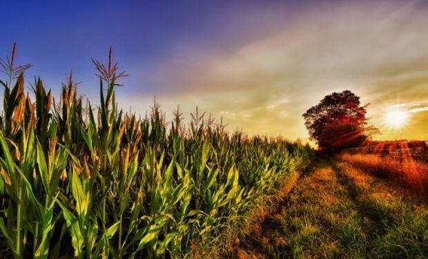 En el caso del maíz tardío es dos veces y media superior.