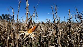 En apenas un mes el margen neto del maíz 2020/21 cayó hasta un 70 %