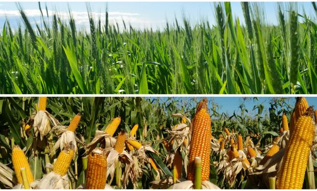 La recuperación obedece a la mayor siembra con trigo y maíz, cultivos que perdieron protagonismo en los últimos años.