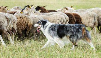 Perros de pastoreo: mejores amigos del trabajo de campo