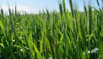 Cuidado con sembrar mucho trigo de calidad