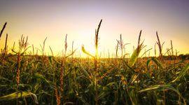 Toma de ganancias en Chicago para soja, trigo y maíz: los cereales lideran las bajas