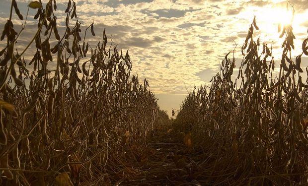Soja, trigo y maíz, con bajas en Chicago: cómo reaccionaron los negocios de Rosario