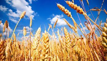 Máximo de dos años para el trigo en Chicago: cómo impactó en los precios locales