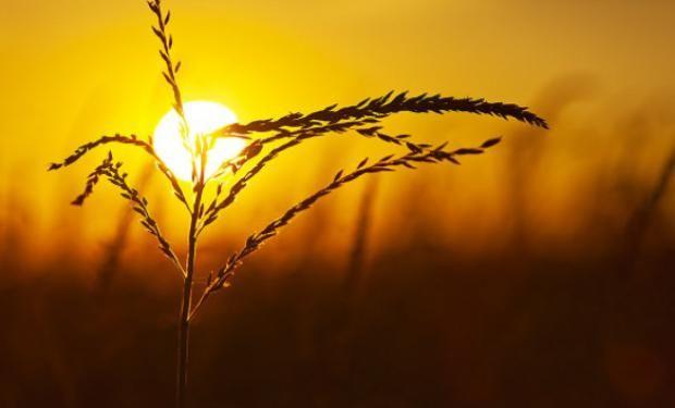 Trigo MAT-Bolcer: con impulso a cosecha