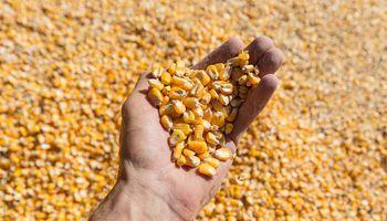 El maíz lideró las bajas del cierre de semana en Chicago
