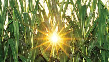 Soja, trigo y maíz, con tendencia entre estable y alcista: los factores que sigue el mercado