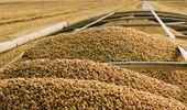 Soja: el avance de la cosecha presiona a la baja a los precios