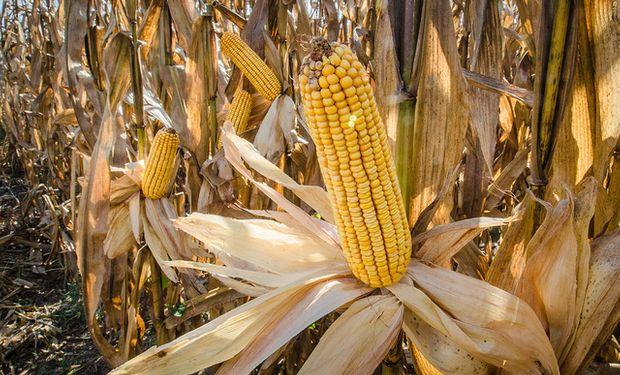 El maíz gana, pero la soja pierde: el impacto de los datos que presentó el USDA