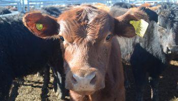 Retroceden los valores de la vaca en Liniers