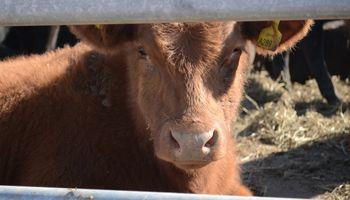 Una alternativa para incrementar el peso de la faena bovina en los próximos 5 años