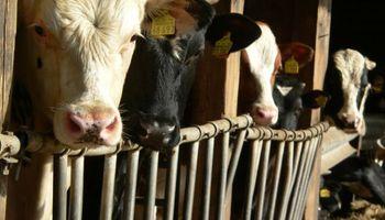 Fuerte caída de la vaca en Liniers