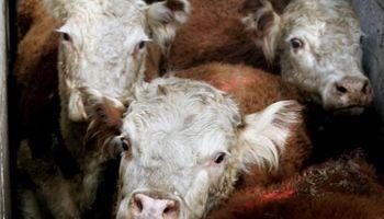 Continúa cayendo la oferta de ganado gordo en Uruguay
