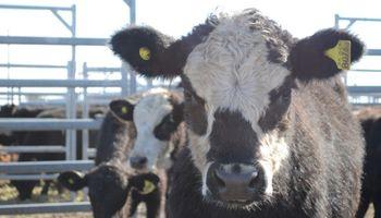 Quitas de hasta $0,40 en lotes de vacas