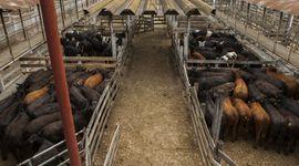 Liniers: la demanda se mostró selectiva en lotes livianos y la vaca ganó hasta 10 pesos por kilo