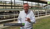 Liniers: mercado selectivo para la hacienda liviana y valores sostenidos para las vacas de exportación