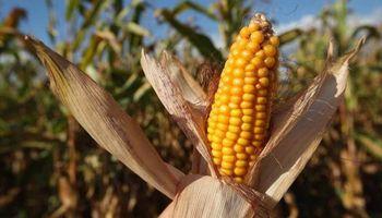 ¿China se convierte en un gran importador de maíz? Es lo que se pregunta el mercado