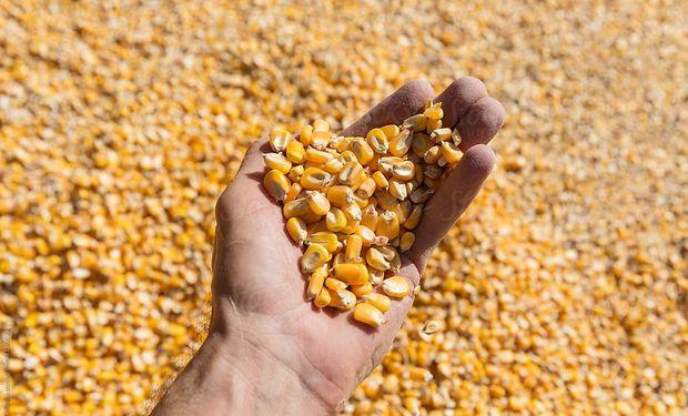 Soja y maíz recortaron casi la totalidad de las fuertes bajas de ayer