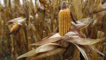 Estados Unidos desplazó a la Argentina del mercado peruano de maíz