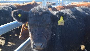 Exportadores favorecieron la firme tendencia de la vaca