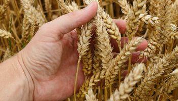 Máximo de seis años para el trigo: en Rosario pagaron hasta US$ 213 para enero