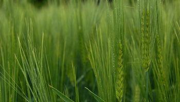 Sólo el trigo logró defenderse en la plaza local