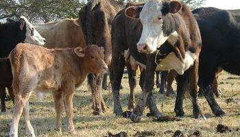 Se recupera el stock ganadero en Santa Fe