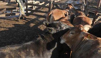 Subas de hasta $0,30 para lotes de vacas
