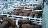 Liniers: la demanda fue selectiva y los precios en las vacas cayeron